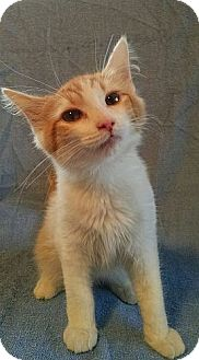 Domestic Longhair Kitten for adoption in Plainfield, Connecticut - Citrus