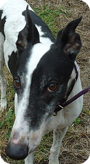 Greyhound Dog for adoption in Longwood, Florida - Kell's Acadian