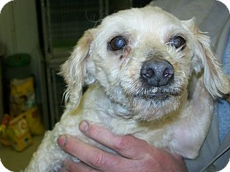 Poodle (Standard) Dog for adoption in Reed City, Michigan - LACY