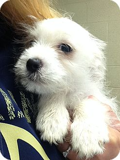 Terrier (Unknown Type, Small)/Terrier (Unknown Type, Medium) Mix Puppy for adoption in Greensburg, Pennsylvania - Tutter