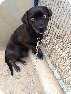 Chihuahua/Beagle Mix Dog for adoption in Phoenix, Arizona - Peppy