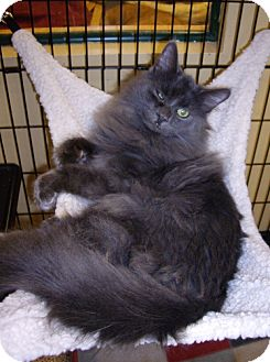 Domestic Mediumhair Cat for adoption in Lovingston, Virginia - Lenny