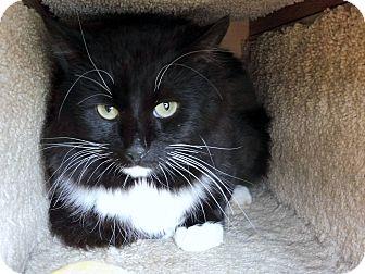 Domestic Mediumhair Cat for adoption in Creston, British Columbia - Drake