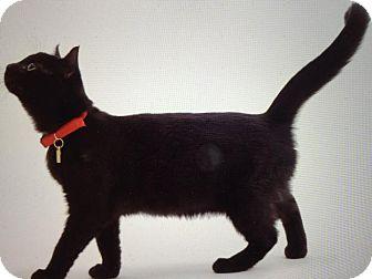 Domestic Shorthair Cat for adoption in Owasso, Oklahoma - Jaxx