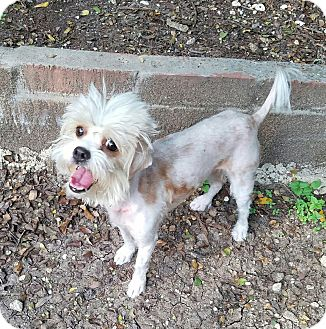 Havanese Mix Dog for adoption in Redmond, Washington - Dusty