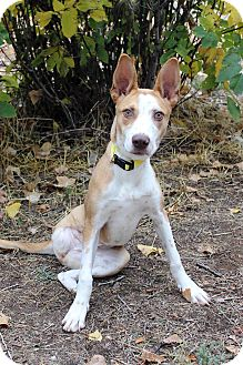 Shepherd (Unknown Type) Mix Dog for adoption in Westminster, Colorado - NAMIRA