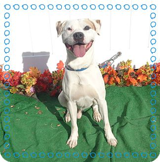 American Bulldog/Labrador Retriever Mix Dog for adoption in Marietta, Georgia - RALEIGH (R)