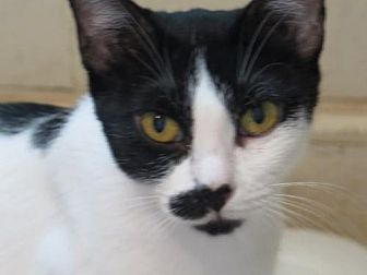 Domestic Shorthair Cat for adoption in Chattanooga, Tennessee - *Jodie