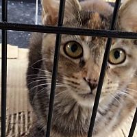 Adopt A Pet :: Tiger Lily - San Dimas, CA