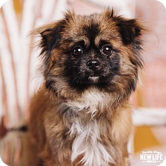 Pekingese Mix Dog for adoption in Portland, Oregon - Noah