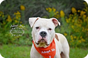American Bulldog Dog for adoption in Fort Valley, Georgia - Doc Holiday