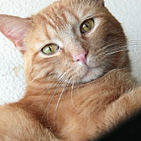 Domestic Shorthair Cat for adoption in St. Louis, Missouri - Thurgood MArshall