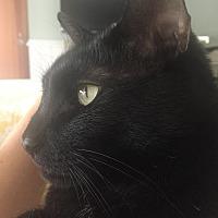 Domestic Shorthair Cat for adoption in San Francisco, California - Mica