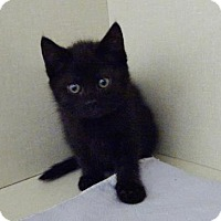 Domestic Shorthair Cat for adoption in Belleville, Michigan - Betty