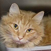 Adopt A Pet :: Goldie 3 - Fargo, ND