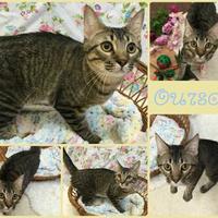 Adopt A Pet :: Ourson - Joliet, IL