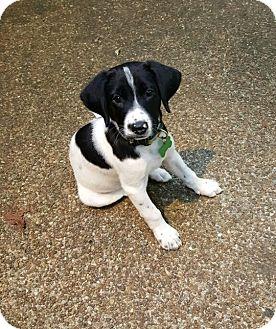 Labrador Retriever/Border Collie Mix Puppy for adoption in Brattleboro, Vermont - Bessie