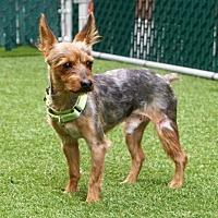Adopt A Pet :: Polo - Brattleboro, VT