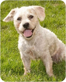 Poodle (Miniature)/Westie, West Highland White Terrier Mix Dog for adoption in Marina del Rey, California - Blain