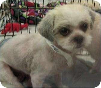 Shih Tzu Dog for adoption in Phoenix, Arizona - Sassy