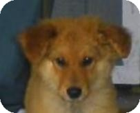 Collie/Chow Chow Mix Dog for adoption in Lincolnton, North Carolina - Indy