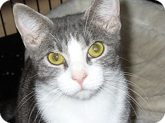 Domestic Shorthair Cat for adoption in Bentonville, Arkansas - Savana