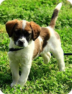 Papillon/Cavalier King Charles Spaniel Mix Puppy for adoption in Staunton, Virginia - Carrigan