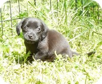 Dachshund/Chihuahua Mix Puppy for adoption in Allentown, Pennsylvania - Rory