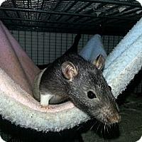 Adopt A Pet :: Hooded Girl - Lakewood, WA