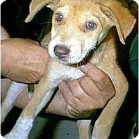 Adopt A Pet :: CHRISSY - dewey, AZ