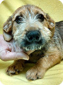 Terrier (Unknown Type, Medium) Mix Puppy for adoption in Washington, D.C. - Alfredo