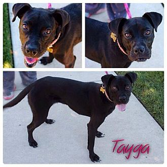 Boxer/Labrador Retriever Mix Dog for adoption in Garden City, Michigan - Tayga