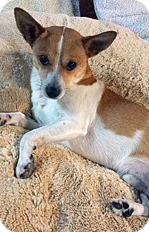 Jack Russell Terrier Mix Dog for adoption in Covington, Washington - Pedro-adopted!