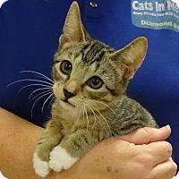 Adopt A Pet :: ANDY - Diamond Bar, CA