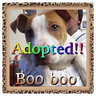 Pit Bull Terrier Mix Dog for adoption in Kenmore, New York - Boo Boo