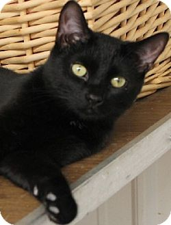 Domestic Shorthair Cat for adoption in Savannah, Missouri - Bailey