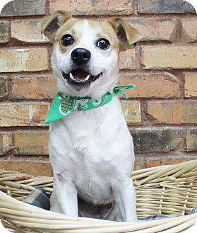 Terrier (Unknown Type, Small)/Jack Russell Terrier Mix Dog for adoption in Benbrook, Texas - Jeremy