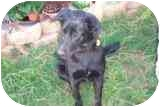 German Shepherd Dog/Labrador Retriever Mix Dog for adoption in Pine Valley, California - Mindy