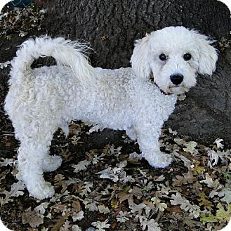 Poodle (Miniature) Mix Puppy for adoption in Walnut Creek, California - Flash