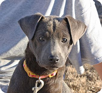Labrador Retriever Mix Puppy for adoption in kennebunkport, Maine - Shelby - PENDING, in Maine