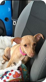 Chihuahua Mix Dog for adoption in Las Vegas, Nevada - Minni