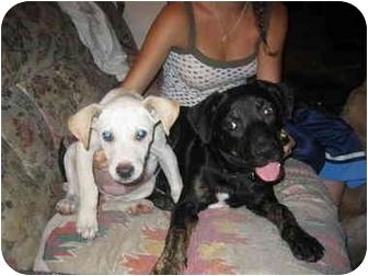 Labrador Retriever/Shepherd (Unknown Type) Mix Puppy for adoption in Los Angeles, California - Bella