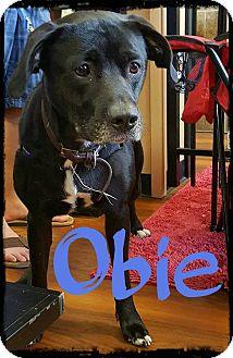 Labrador Retriever Mix Dog for adoption in WESTMINSTER, Maryland - Obie