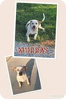 Pointer/American Bulldog Mix Dog for adoption in Mt. Vernon, Illinois - Murray