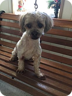 Shih Tzu Dog for adoption in Mine Hill, New Jersey - Sandy