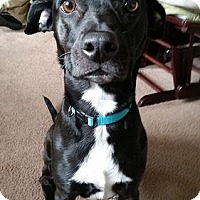 Adopt A Pet :: Izzy #2 - Fairfax, VA