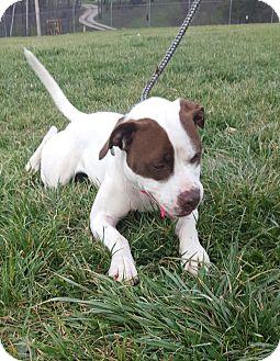Staffordshire Bull Terrier Mix Dog for adoption in Hawk Point, Missouri - Tootsie
