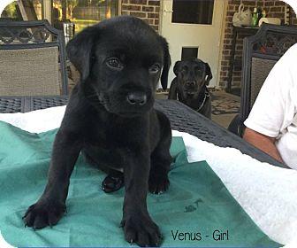 Labrador Retriever/Collie Mix Puppy for adoption in Plano, Texas - Venus