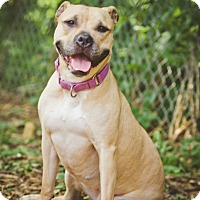 American Pit Bull Terrier Mix Dog for adoption in South Park, Pennsylvania - Charlotte