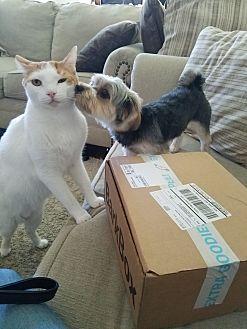 American Shorthair Cat for adoption in Ventura, California - Butters